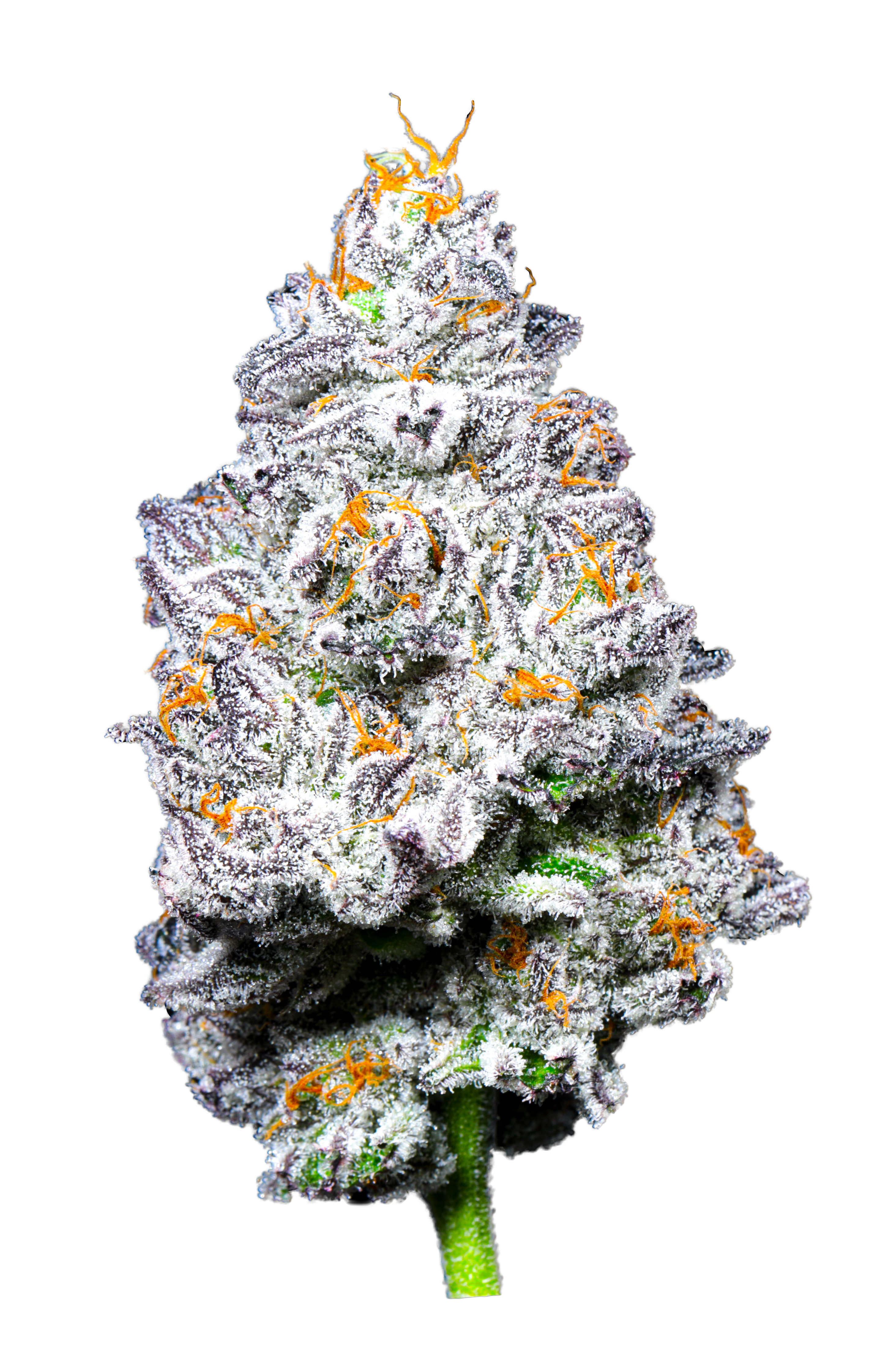 Kryptochronic, flor indica vencedora do Cannabis Cup Arizona 2021
